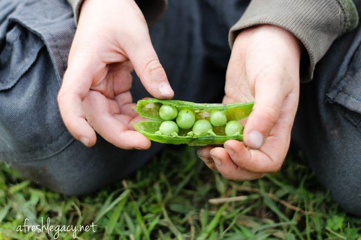 Planting, harvesting and tasks for a Spring vegetable garden
