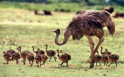 : Animal Planets, Mothers, Animal Baby, Baby Animal, Baby Ostrich, Families, Birds, Kids Fun, Day Care