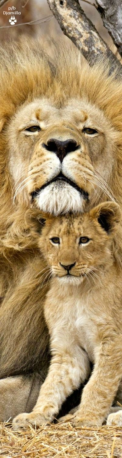 Papa Lion & His Cub - The King of Beasts http://pinstor.us/articles/african-lion-facts-the-sub-saharan-big-cats/