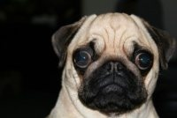 I think the pug speaks for all of us. Voting is TOUGH! Help us decide Australia's Favourite Novelist - Heat 3 is open NOW!