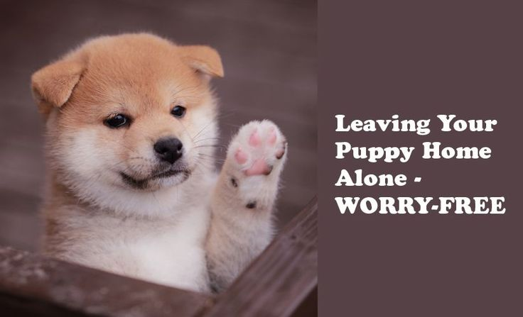 How to leave your new puppy home alone. Leaving your puppy home alone can be stressful - but it doesn't have to be.
