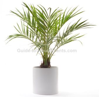 Pygmy Date Palm (aka Dwarf Date Palm) has long, arching fronds featuring delicate leaflets. Find a plant profile, picture and care tips here.