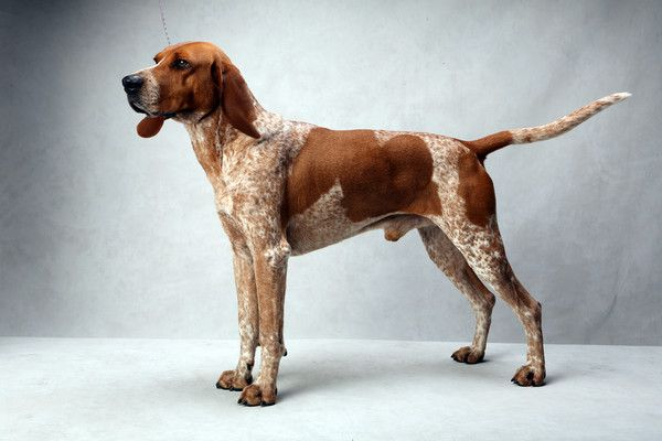 Oakie the American English Coonhound. Oakie, registered as Moonlights Most Wanted, is owned by Jason Spieth and Sianna Spieth. (Fred R. Conrad, a New York Times photographer, set up a studio at the 2013 Westminster Kennel Club dog show and invited Best of Breed winners to pose.)