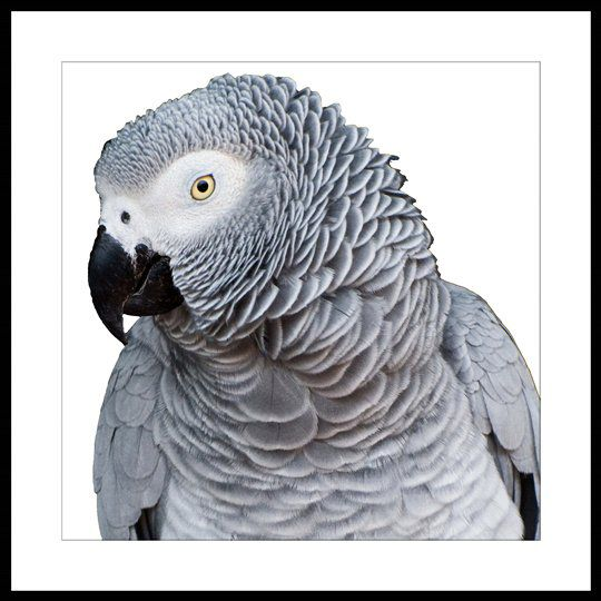 Republic Bird Of Paradise – Grey Parrot Fold Living / Artwork