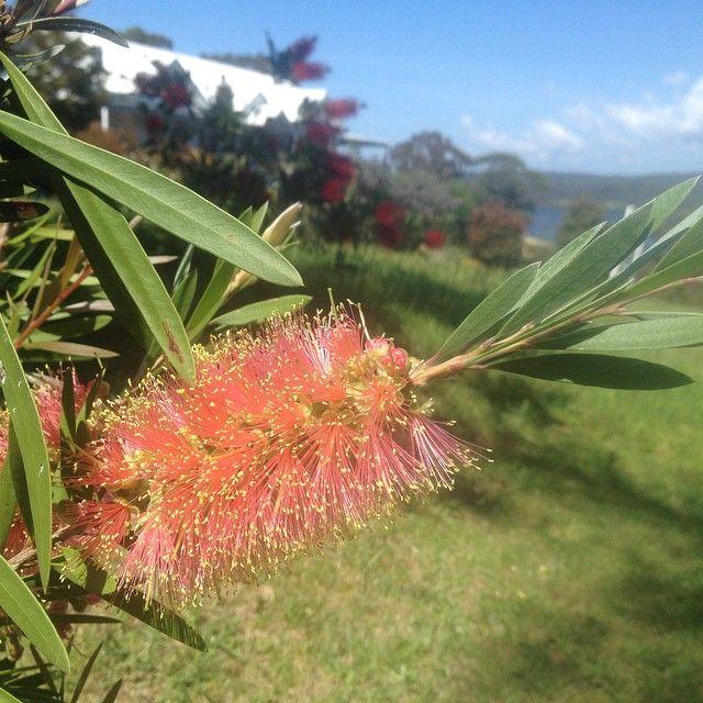 Australian bottlebrush plant. #Australian #native #plant #shrub #sky #green #leaves #flower #beautifulday #southernhemisphere #spring
