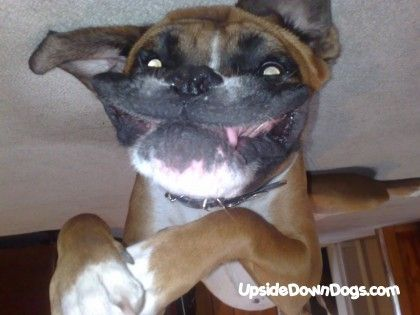 1000 Images About Upside Down Dogs On Pinterest Blue