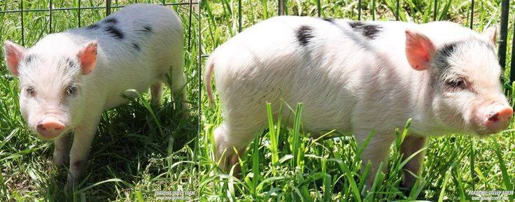 Meet Alfred! He's currently looking for a loving home! Click for more info and to see all the adorable piglets we have for sale! Prices Range $650+.