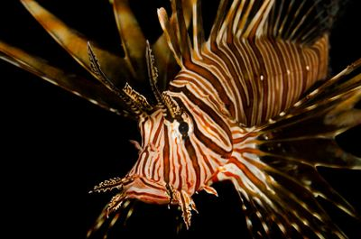 Dangerous Fish and Sea Animals: 12. Lionfish - Dangerous to Touch