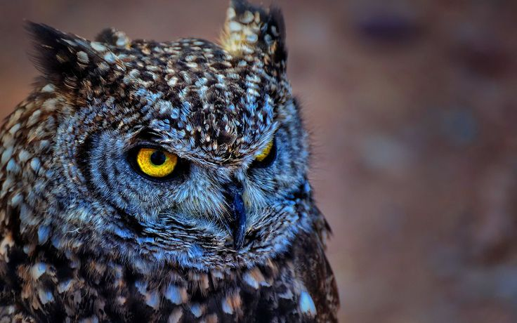 Free Owl Wallpapers Wallpaper × Pictures Of Owls Wallpapers