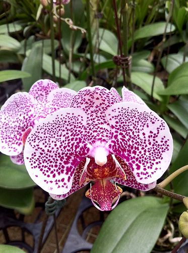 Orchids, like phalaenopsis, have large blooms and are available in white to deep purple and every shade in between.