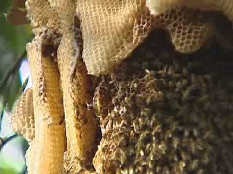 ▶ Africanized Bees In Florida - YouTube