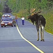Algonquin Park. What a treasure. Isn't he huge, He's taller than the cars...