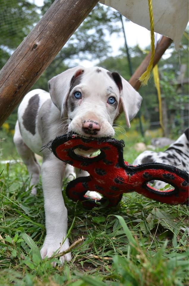 Those eyes. You can watch Ethel every day on our Service Dog Project Great Dane Puppy Cam.