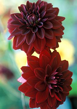 These pretty arabian night dahlias are also new this year to our front flower beds.