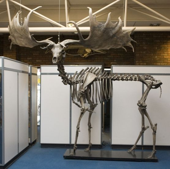 Irish elk (Megaloceros giganteus)