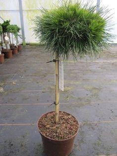 Pinus mugo 'Varella', stam 40 cm. Varella är en tysk korsning, med mycket runt växtsätt. Långa täckande gröna barr. Bildar mycket årsskott och blir tät. Nu på 40 cm stam.