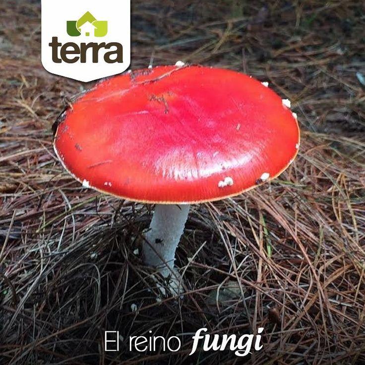 Este es un hermoso espécimen del reino Fungi, que está compuesto por unas 69.000 especies en el mundo. A menudo son ignorados, pero cumplen un papel vital en nuestros ecosistemas, por lo cual preservarlos es un objetivo más de todos.    Visita nuestra página web www.terra.net.co ó contáctanos al tel: (4)3860181 Atendemos Palmas, Oriente Antioqueño, y Escobero.