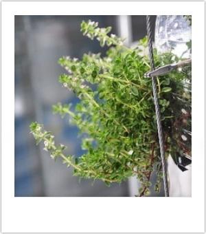 Ikkunaviljelijällä on kasvimaa pullon sisällä | ruukkupuutarha | Ikkunalauta ja parveke | Piha | olotila | yle.fi