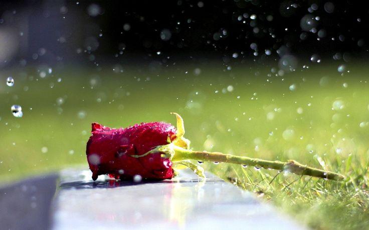 Gambar Bunga Mawar Merah - Setangkai