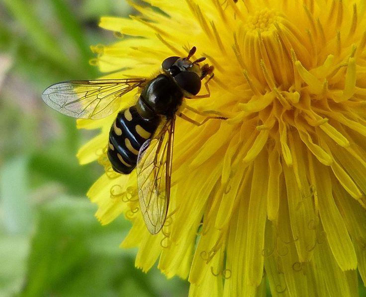 Syrphidae on Dandelion - null