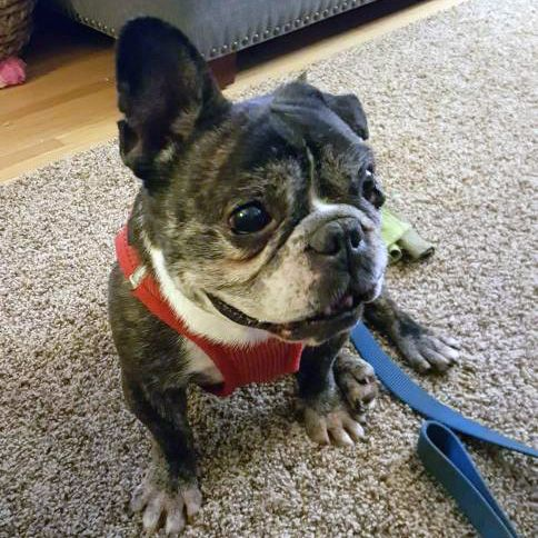 French Bulldog dog for Adoption in St. Louis Park, MN. ADN-451605 on PuppyFinder.com Gender: Male. Age: Adult