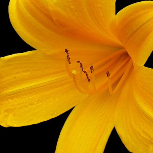Yellow Day-Lily, by Pete Biggs, via Flickr