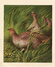PARTRIDGE BIRDS WILDLIFE ANIMALS NATURE ANTIQUE PRINT 1870