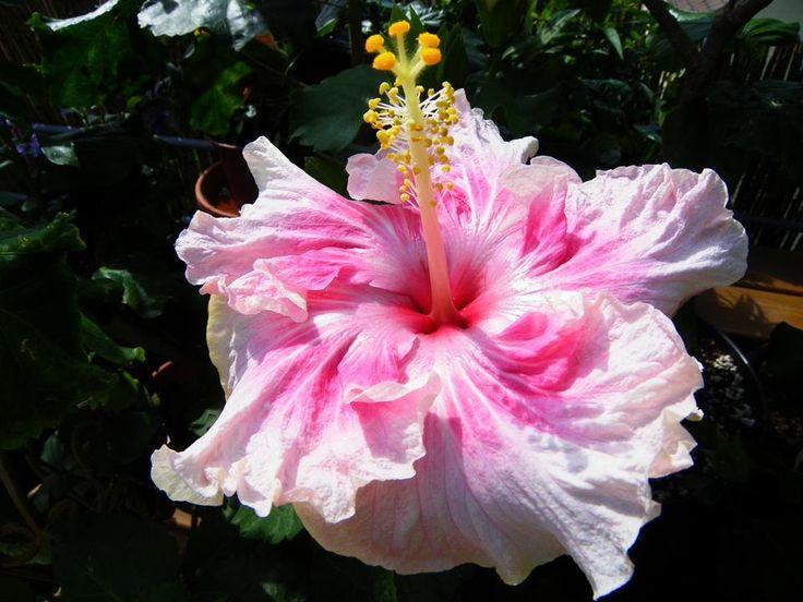 rose-blanc