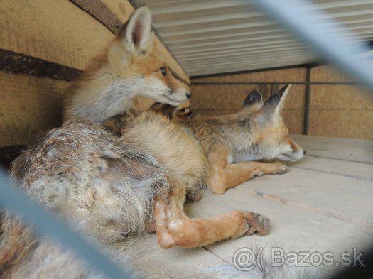 Líška hrdzavá - 1