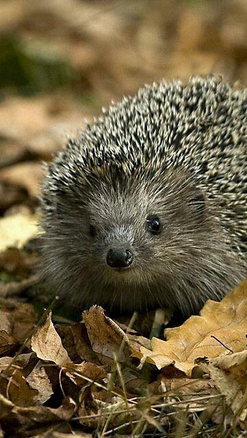 999 best images about hedgehog igel on pinterest animals hedgehog cookies and albino hedgehog. Black Bedroom Furniture Sets. Home Design Ideas