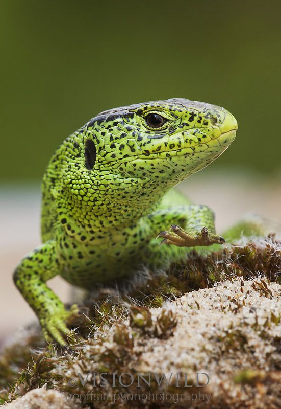 Male Sand Lizard (Northern race) England