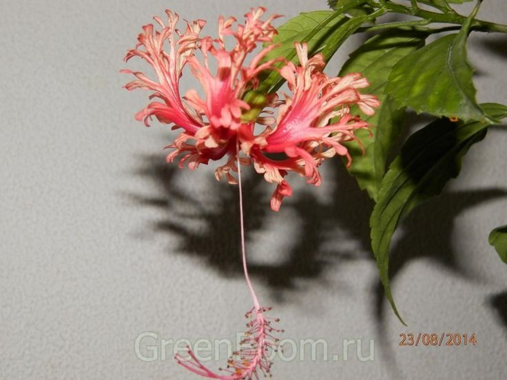Гибискусы / Hibiscus schizopetalus (гибискус рассеченнолепестной) / Безымянный красный :: GreenBoom.ru