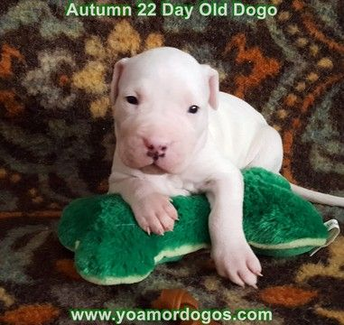 Litter of 5 Dogo Argentino puppies for sale in PINEVILLE, MO. ADN-50256 on PuppyFinder.com Gender: Female. Age: 4 Weeks Old