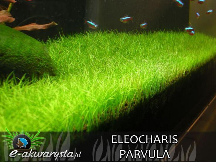 Eleocharis parvula PONIKŁO MALEŃKIE trawnik 40szt (5496174656) - Allegro.pl - Więcej niż aukcje.