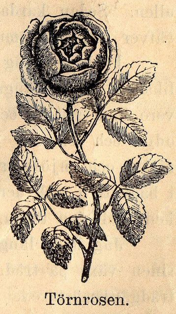 A late Victorian era botanical illustration of a rose.1800s | for ...