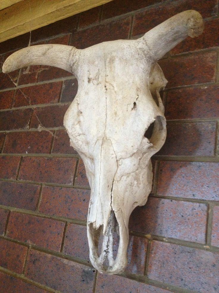My cow skulls