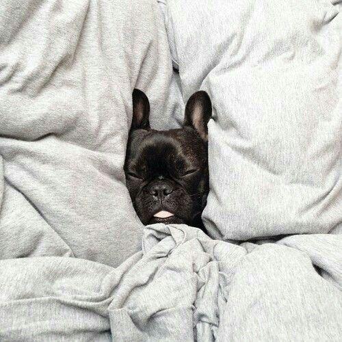 Bulldog Francês *.*