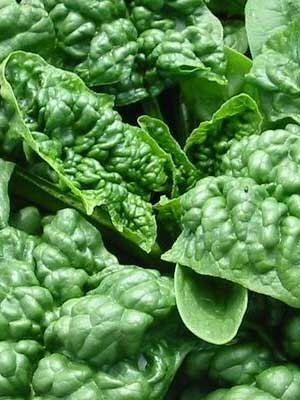 Spinach Bloomsdale Cold Tolerant Heirloom Variety with Best Flavor and Resistance CLEARANCE SALE Organic Heirloom Rare Seed by kenyonorganics on Etsy https://www.etsy.com/listing/80947483/spinach-bloomsdale-cold-tolerant
