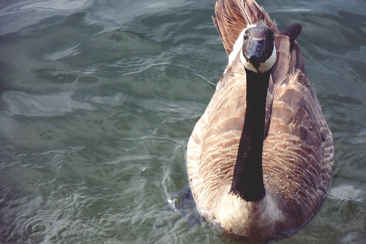 Hungry duck look