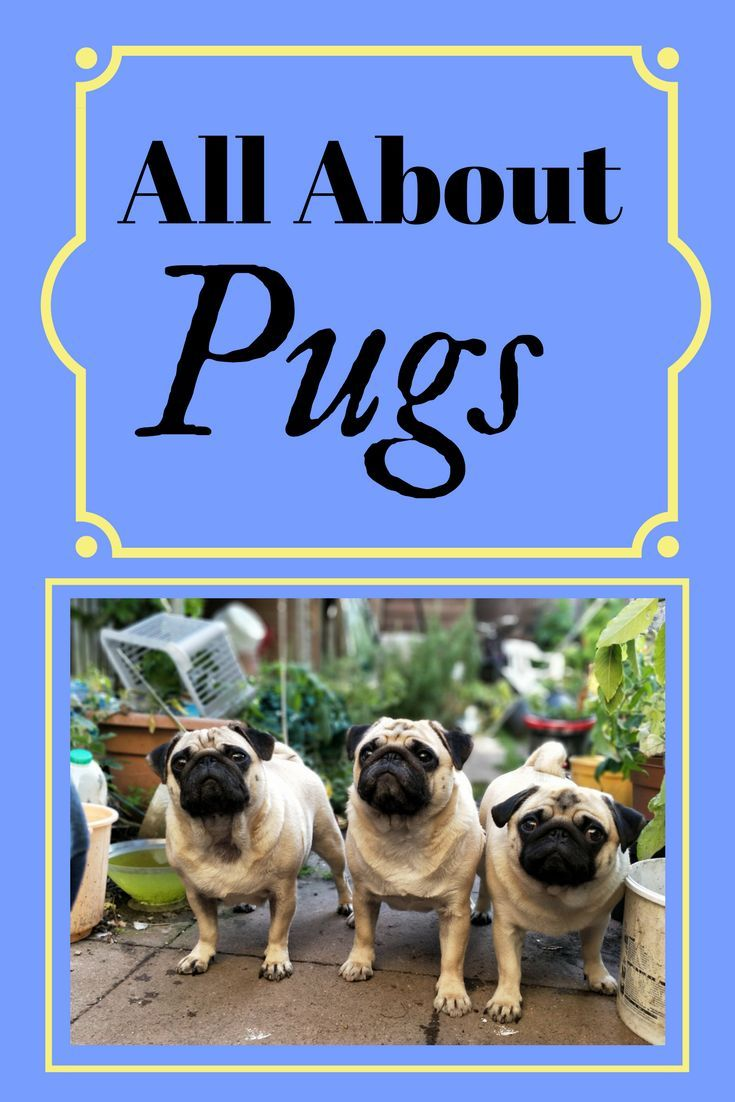 All About Pugs Pug Breed Dog Books Pugs