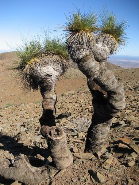 Grass Trees, Flinders Ranges,  South Australia. Look a bit like Heckle And Jeckle.
