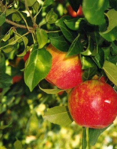 Handige informatie over fruitbomen.