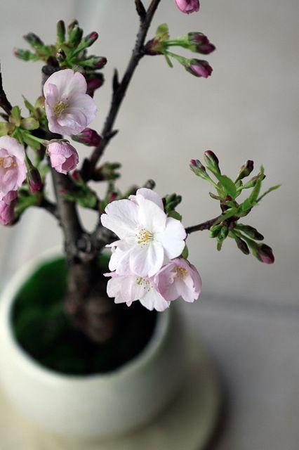 bonsai / cherry