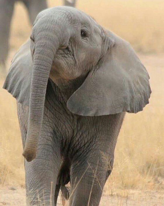 How it is possible to be so cute. .? oh my heart. .From : @daily_elephant.lovers - Baby African elephant - . . For info about promoting your elephant art or crafts send me a direct message @elephant.gifts or email elephantgifts@outlook.com . Follow @elephant.gifts for beautiful and inspiring elephant images and videos every day! . #elephant #elephants #elephantlove