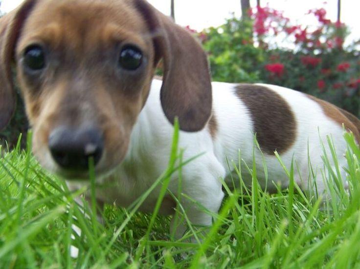 Mini dachshund red piebald puppy