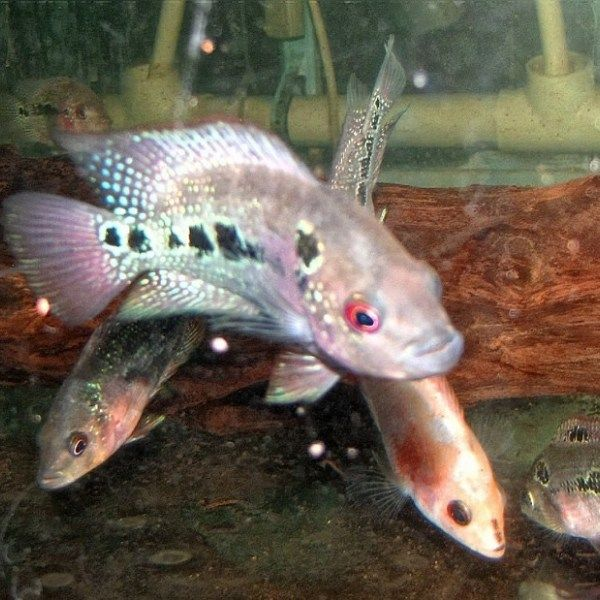 Jade Dragon Flower Horn Cichlid 2 3 Inch Cichlids Aquarium Fish For Sale Horns