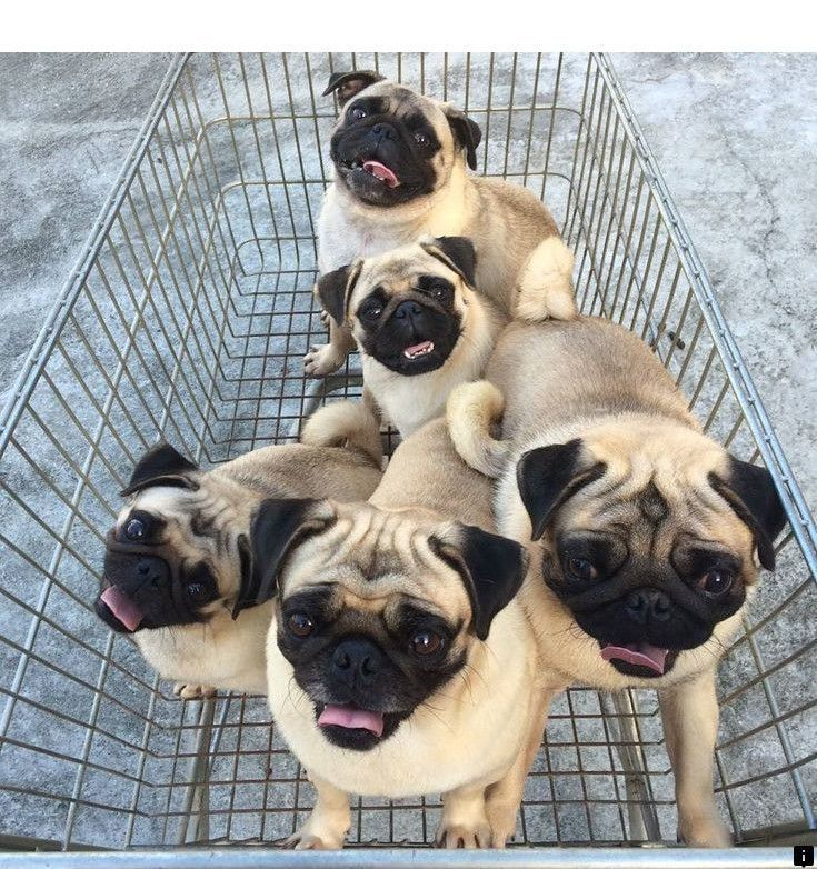 Click The Link For More Pug Price Just Click On The Link For