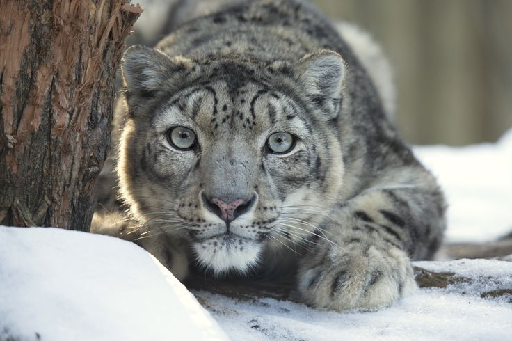 Sadly reports estimate that over 200 Snow Leopards are poached every year. Find out more in this weeks article and please share to raise awareness.