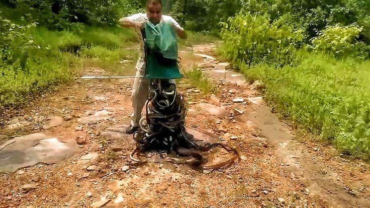 Этот любитель змей из города Бхопал (Индия) подарил свободу 285 змеям: их он вынес за черту города и выпустил в дикую природу, высыпав гадов из своего зеленого мешка. Для того, чтобы змеи расползли…