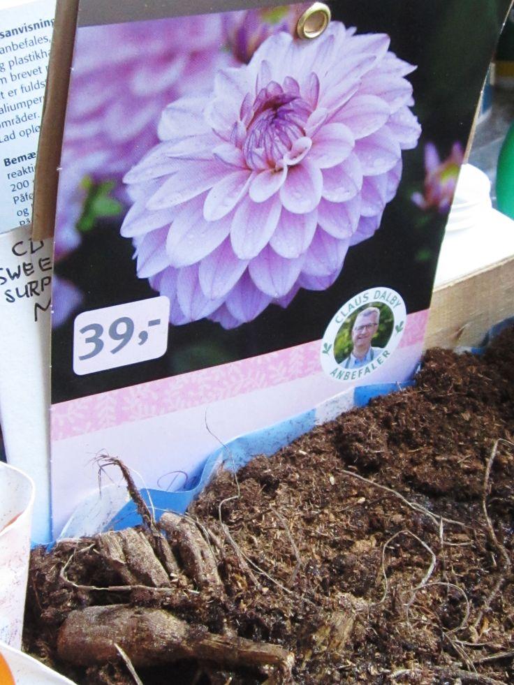 Dag 1. . Et mirakel vil finde sted - de tørre knolde vil blive forvandlet til store grønne planter med masser af flotte blomster